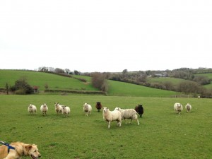 Sparky photobombs this picture of sheep in the pasture behind our cottage.
