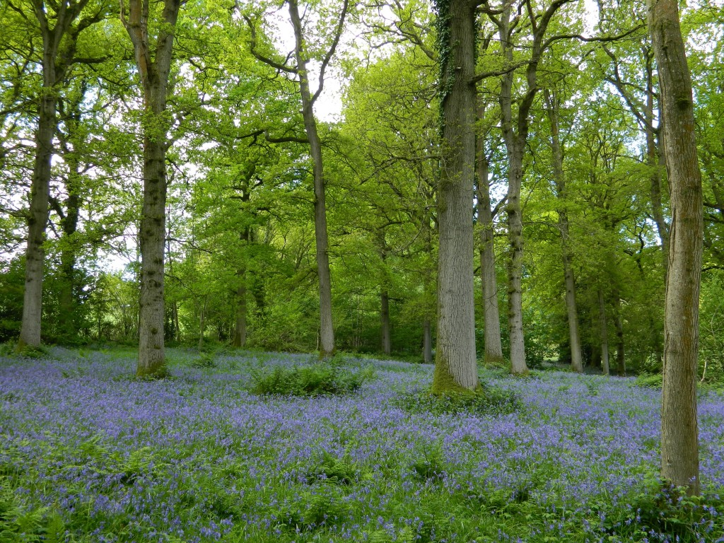 Bluebell woods at Nymans in West Sussex