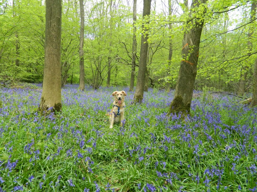 Sparky sits at attention in Wendover Woods