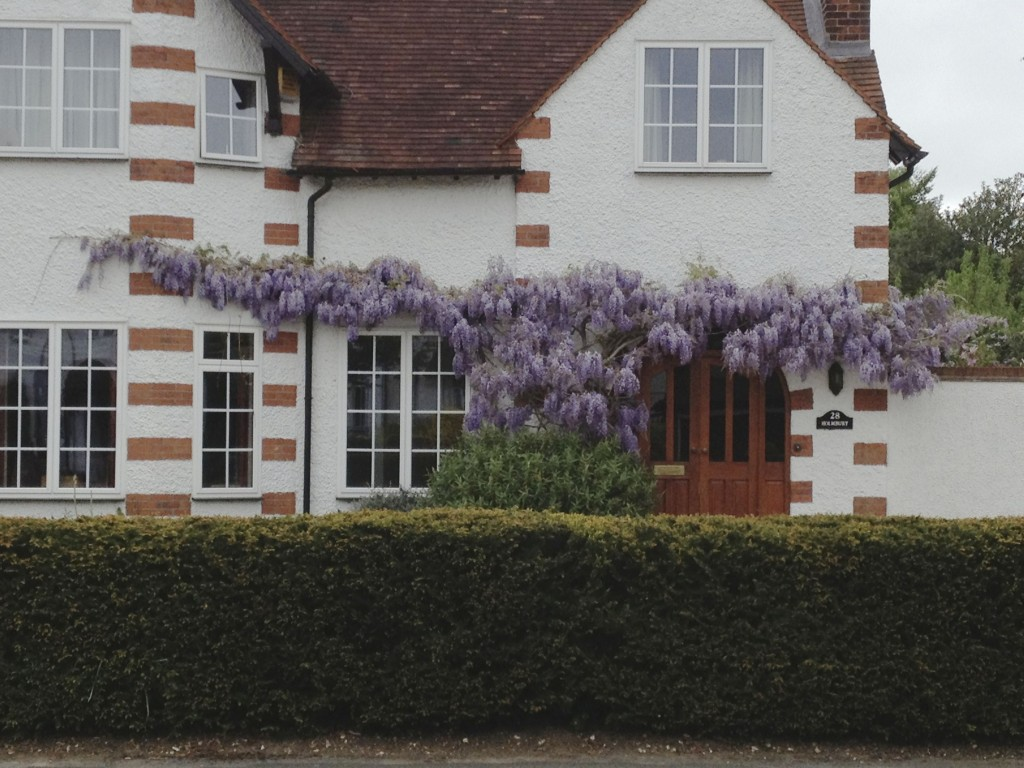 Some nice wisteria growing on a white stucco exterior.