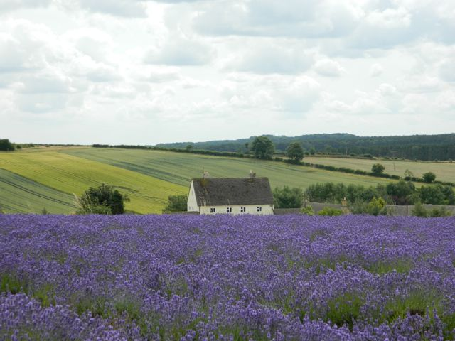 Lavender fields in the Cotswolds
